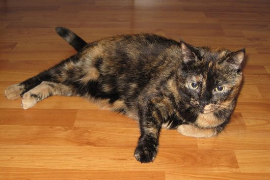 Meet Fiona. A gentle, laid back cat seeking a new home. oasisanimalrescue.ca