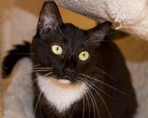 Adopt a pet! Ginny: Tuxedo, Cat; Van Nuys, CA