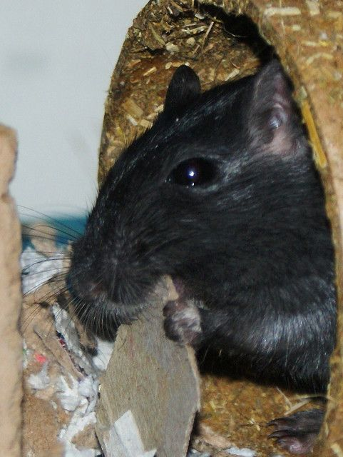 Cute Pet Gerbil Chewing #Cute pet #pet boy #pet girl