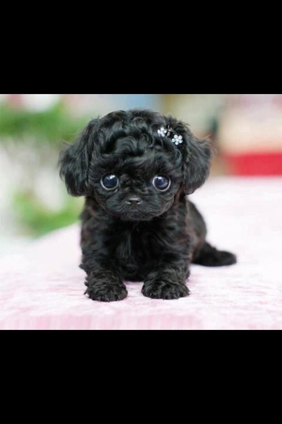Teacup pup...so tiny can fit in a teacup!! Sooo cute!! I WANT!!