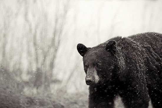 Snow Bear 2 by Dan Newcomb Photography, via Flickr