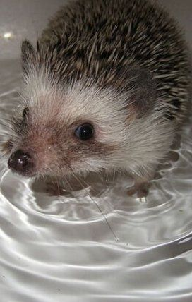 Bath-time For Cute Pet Hedge Hog