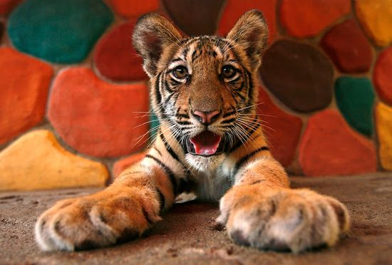 Cute baby tiger photo