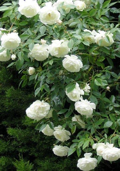 Iceberg Roses Flowers Garden Love