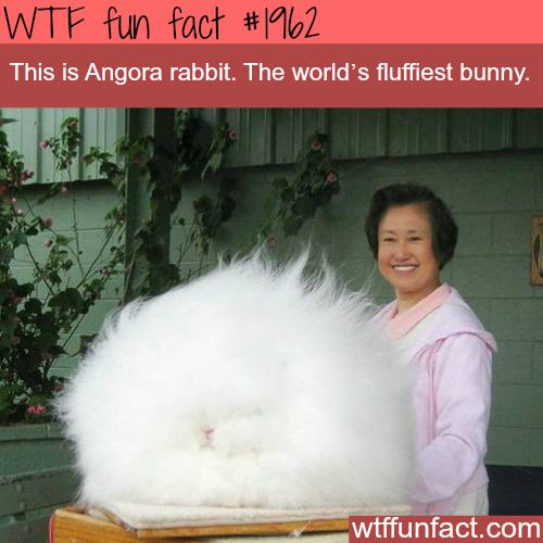 Angora rabbit, fluffiest bunny - WTF fun facts
