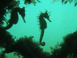 seahorse shadows