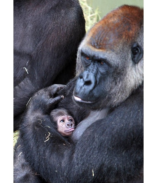 Newborn baby gorilla at Dublin Zoo.  I would not want to mess with that mama!