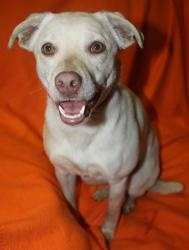 Adoptable Fridays: Meet Lady! Lady is an adoptable Labrador Retriever Dog in Evansville, IN. Little Lady was rescued from a high kill shelter with her litter mate. Find out more about Lady! #dogs #pets #animals