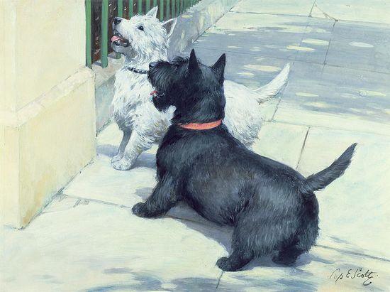 West Highland Terrier White and Scottish Terrier black