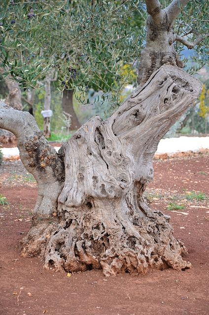 ? 1000 year old olive trees in puglia