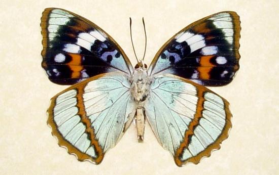 unusual butterflies