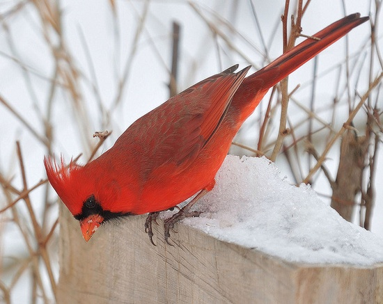 Northern Cardinal in the snow....Love cardinals!