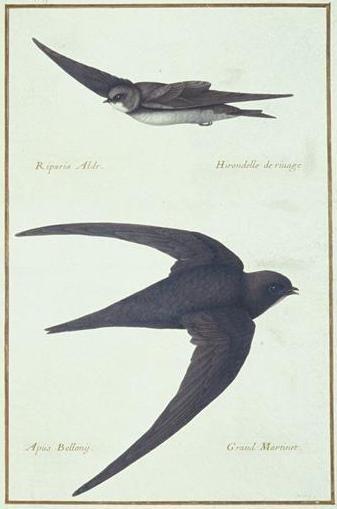 The birds of Nicolas Robert (1614 - 1685)