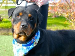 DART is an #adoptable Rottweiler Dog in Woodland, CALIFORNIA. My name is Dart and I'm a 1 1/2 year old neutered male purebred Rottweiler. I was a stray and probably was kept outdoors all my life. I'm a very go...