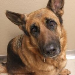 Ruby is an adoptable German Shepherd Dog Dog in Naperville, IL. Ruby came to ADOPT in March of 2013 from Naperville Animal Control.  She was born around March of 2007 and currently weighs 56 lbs 6 oz....