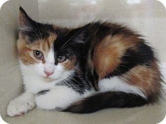 """Adopt a Pet :: CROCUS RIVERHEAD, NY -  Calico Mix Female kitten, spaed and UTD with shots.  This beautiful little lady will curl up in your lap and steal your heart!   Al LaFrance-Phone: 631 722-0015   E-mail: mailto:savesinc@a...   Let 'em know you saw """"Crocus"""" on Adopt-a-Pet.com!   Please take me home with you!"""