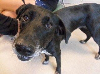 I AM A STAR DOG  on Petfinder sweet Senior female lab -please adopt name 79791 at Joplin Humane Society Joplin, MO  (417) 623-3642