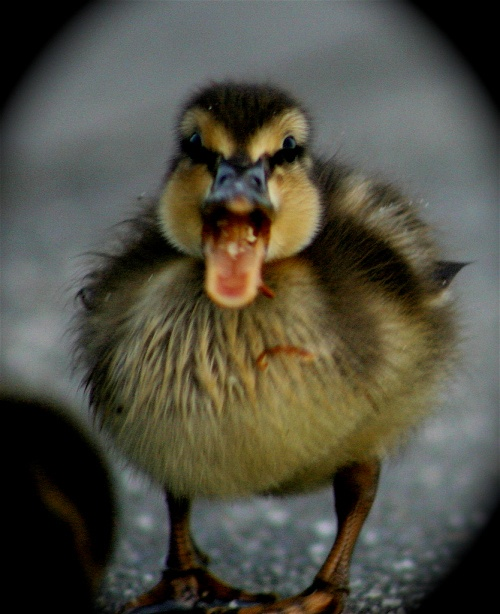 baby duck or angry bird?? LOL