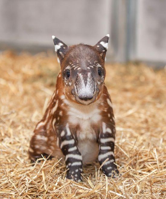 Baby Tapir. Heeheeheheheeeeee.