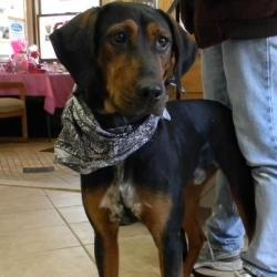 "#NEWYORK ~ Drix is an #adoptable Coonhound dog in #Middletown.  2 yr old friendly hound mix found as a stray . He had a microchip and apparently was given away and then the people that took him had to move and couldn t take him so must have dumped him. He sits for treats & is housetrained. He's seeking a loving furever home ~ #adopt him at the ""low kill""  HUMANE SOCIETY OF MIDDLETON NEWYORK  142 Bloomingburg Rd  Middletown NY 10940  Ph 845-361-1861 mailto:Luvyrpets2..."