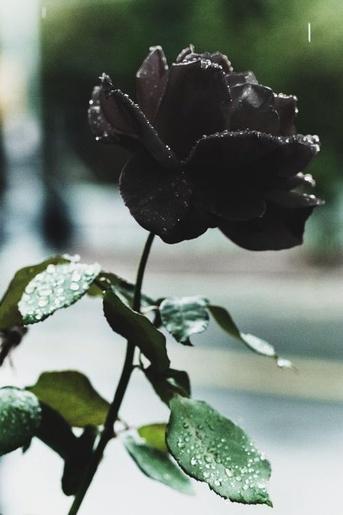 Black Rose www.creativeboysc...