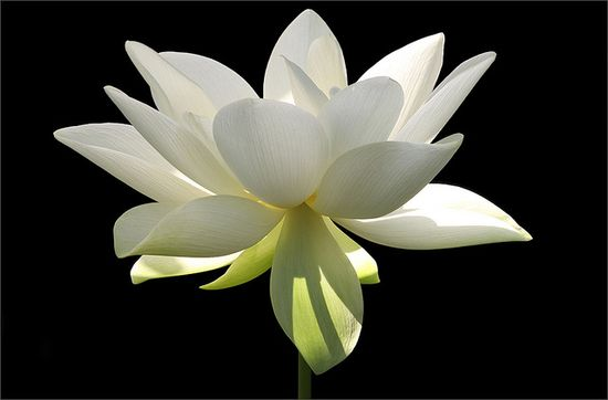 """""""Lotus Flower in the Early Morning Sun""""  by Bahman Farzad on Flickr."""