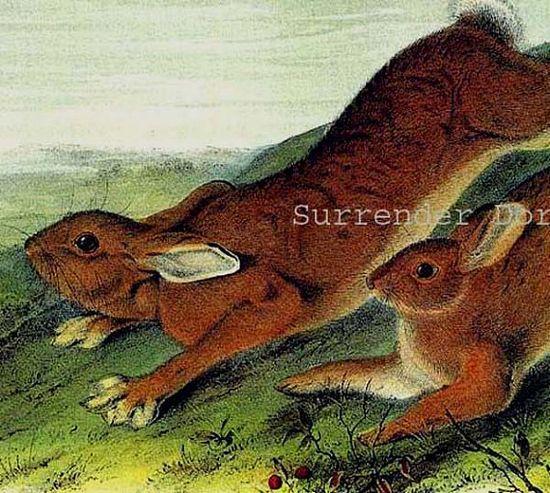 Northern Hare John J Audubon Wild Animal Lithograph Print To Frame