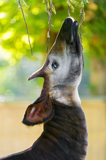 Okapi eating leaves from a tree II by Tambako the Jaguar, via Flickr