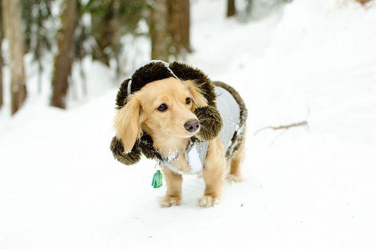 {snow bunny doxie}