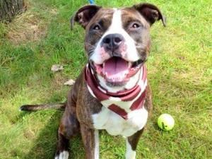 LEXI is an adoptable Pit Bull Terrier Dog in Staten Island, NY. A volunteer writes: Lexi is a good looking girl who seems to have been well cared for until her abandonment. She is healthy looking, wel...