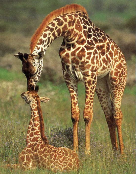giraffe and baby