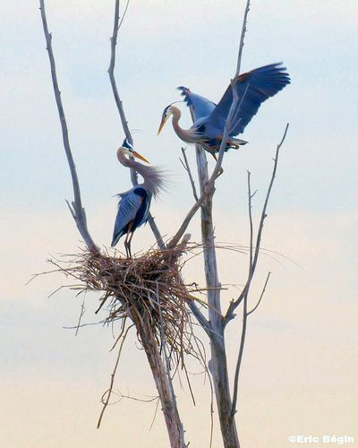 Herons and nest