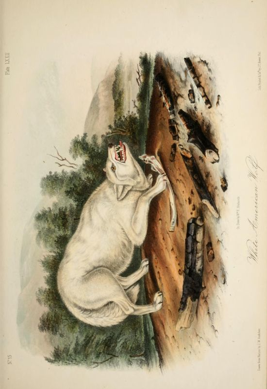 Wolf. The quadrupeds of North America v.2  New York,V.G. Audubon,1851-54.  Biodiversitylibrary. Biodivlibrary. BHL. Biodiversity Heritage Library