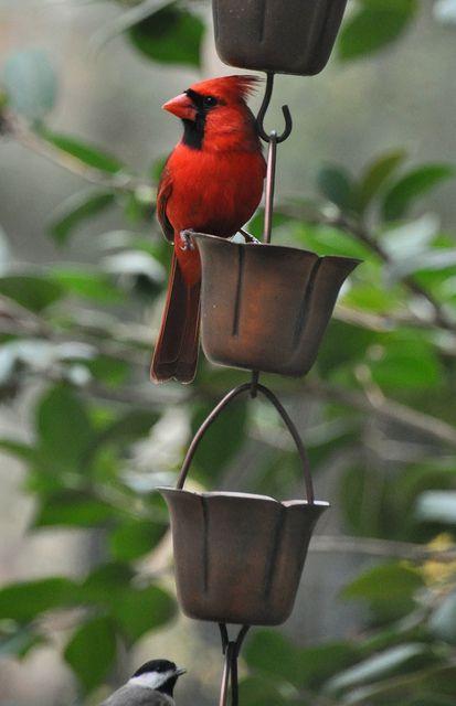 A cardinal pose