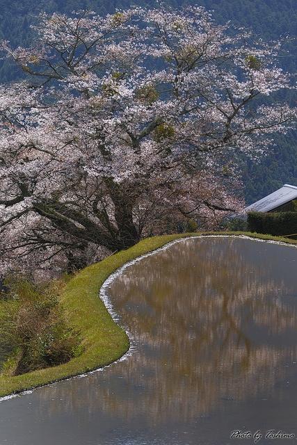Cherry tree at Misugi-village, Mie, Japan