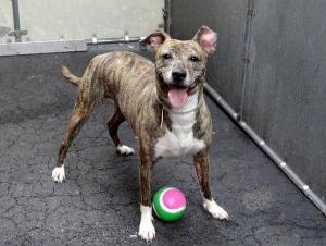 TIGGERONA is an #adoptable Pit Bull Terrier Dog in #NewYork, #NEWYORK. A volunteer writes: Tiggerona is a lovely pixie who was found roaming the streets in the care centers neighborhood. She is a tiny adult...