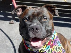 SPIKE is an adoptable Pit Bull Terrier Dog in New York, NY. A volunteer writes: There is no doubt in my mind that if we were in school Spike would be named Most Handsome, Most Popular and Most Likely ...