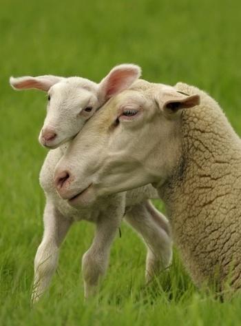 photo, sheep, lamb, Mother & Baby