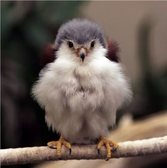 Its a freaking Baby Falcon and and it is SO FLUFFY.