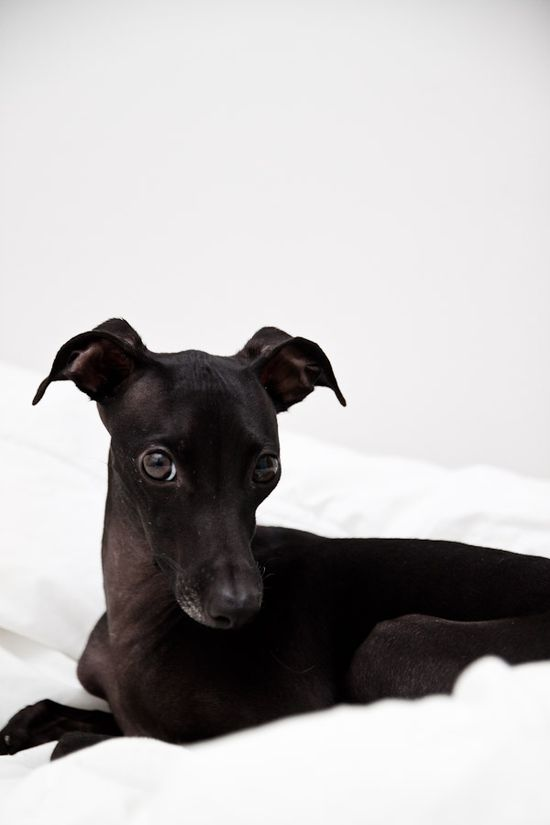 The greyhound look