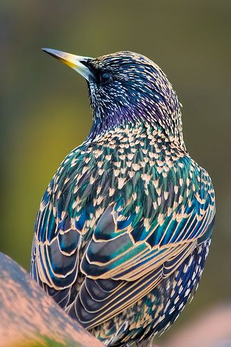 Spreeuw (Sturnus vulgaris) by Serge. Gorgeous colour in this birds feathers.
