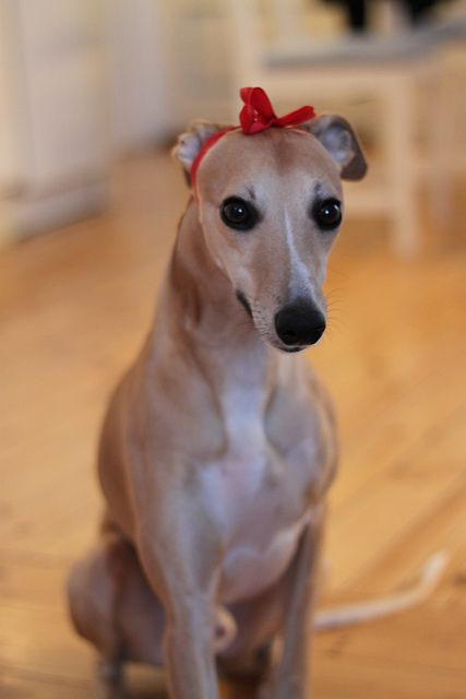 Christmas whippet by asandvik, via Flickr What beautiful eyes!