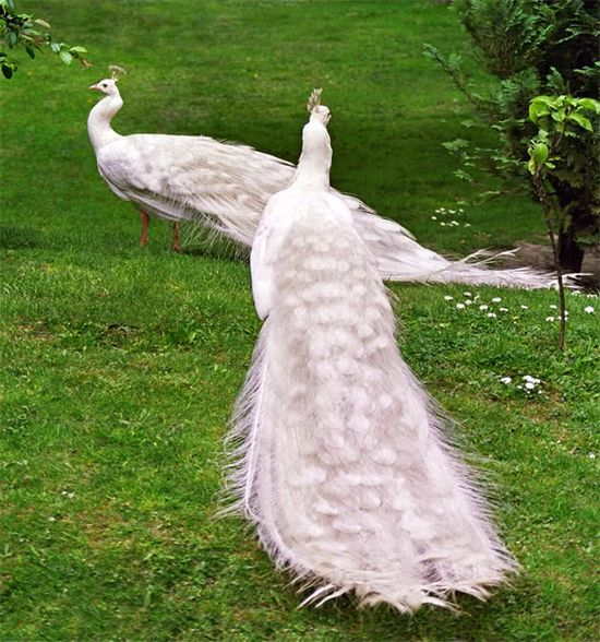 White Peacocks ... Beautiful elegant birds!!