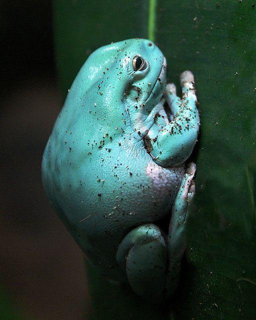 aqua frog