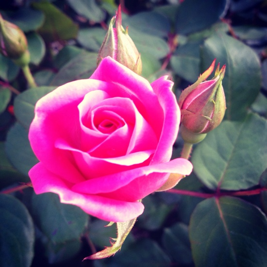 pink rose from our garden ^.^