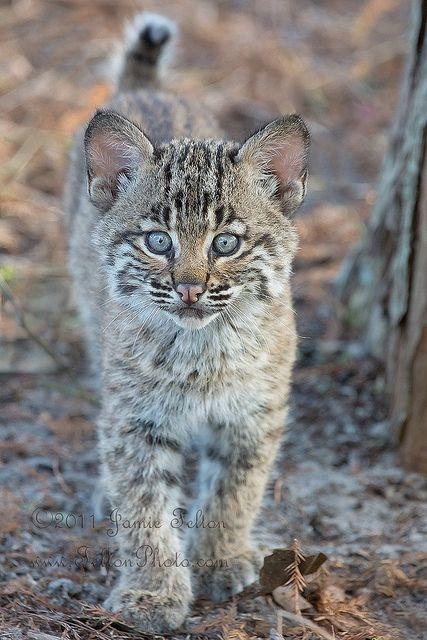 ~~Bobcat kitten (or bobcat cub) in the wild.