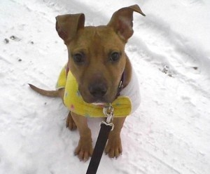 Remington is a Pit Bull Terrier Dog in Kalamazoo, MI. He's a charming little pup who is looking for his true family.