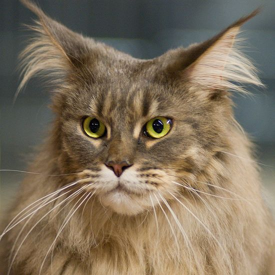 maine coon whiskers and ears!
