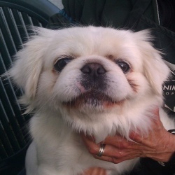 06560_Savannah is an adoptable Pekingese Dog in Oakland, CA. My name is Savannah, and I'm a beautiful 1 1/2-year-old Pekingese. I came to the shelter in February as a stray, and now I'm ready to find ...