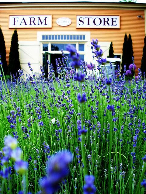 Lavender nursery in Kennebunk, Maine